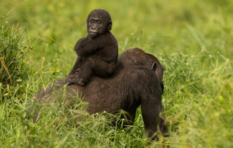 Gorillaweibchen mit Nachwuchs am Rücken
