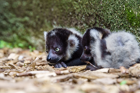Affen Nachwuchs Zoo Schmiding