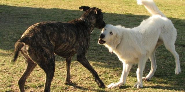 Zwei Hunde raufen