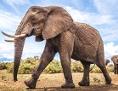 Elefant läuft über den Boden