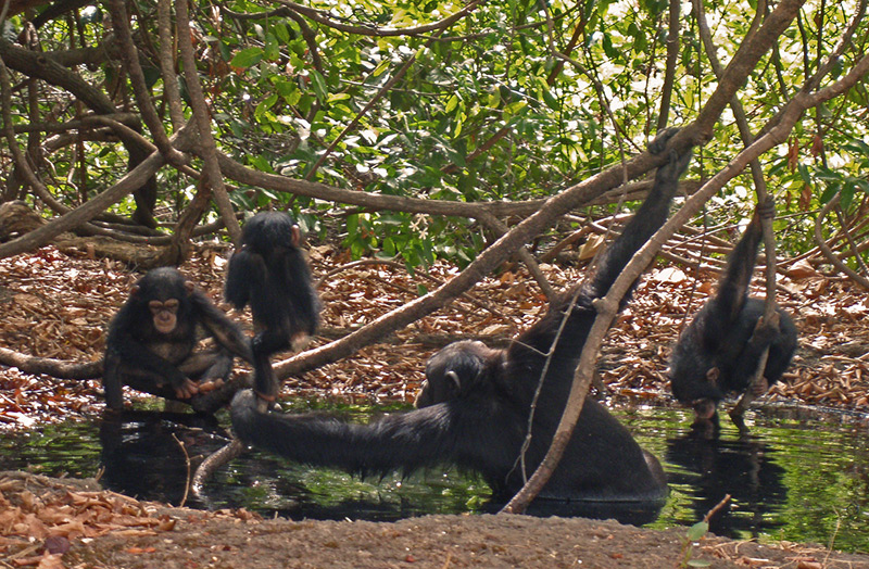 Schimpansen nehmen ein Bad in einer Quelle