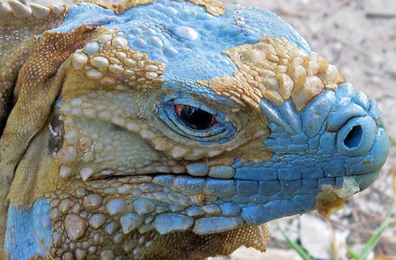 Kopf eines Blauen Leguans
