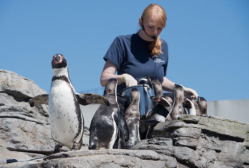 Tierpflegerin mit Pinguinen