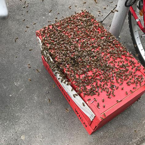 Bienenschwarm besetzt Fahrradabstellplatz