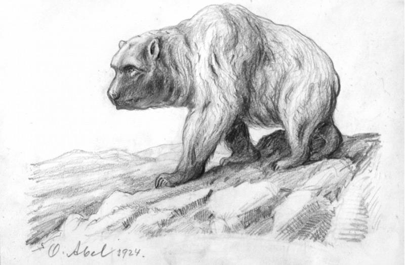 Höhlenbär. Skizze von Othenio Abe 1924