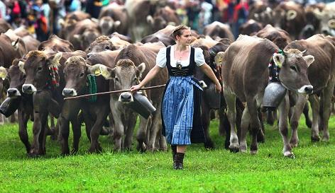Kühe beim Almabtrieb