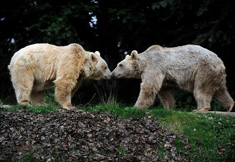 Braunbären im Bärenwald Arbesbach der Vier Pfoten