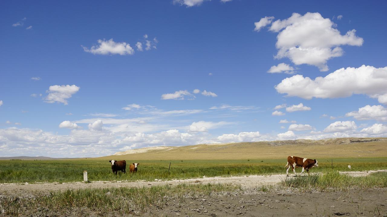 Kühe auf einer Ebene