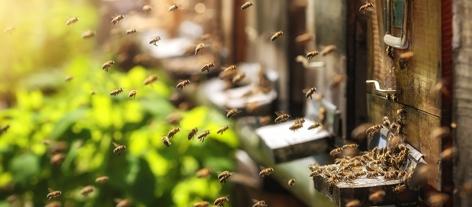 Bienen fliegen zu Bienenstock