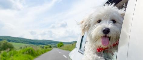 Hund blickt aus dem Fenster während der Autofahrt