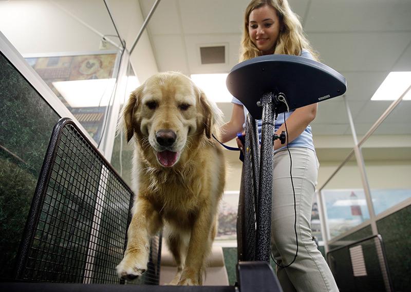 Ein Retriever muss in einer US-Hundepension aufs Laufband - wegen Übergewichts