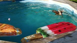 Reh in Pool
