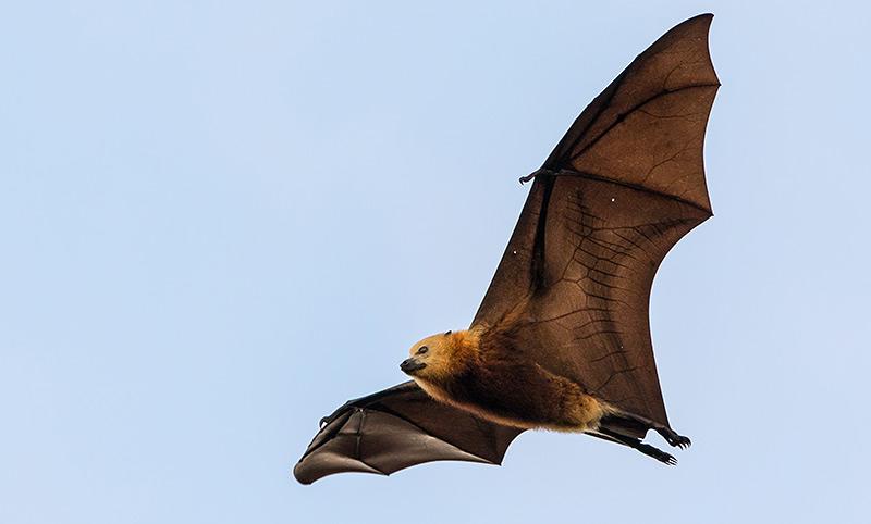Maskarenen-Flughund (Pteropus niger) während des Fluges