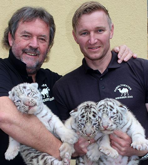 Weiße Tiger-Drillinge
