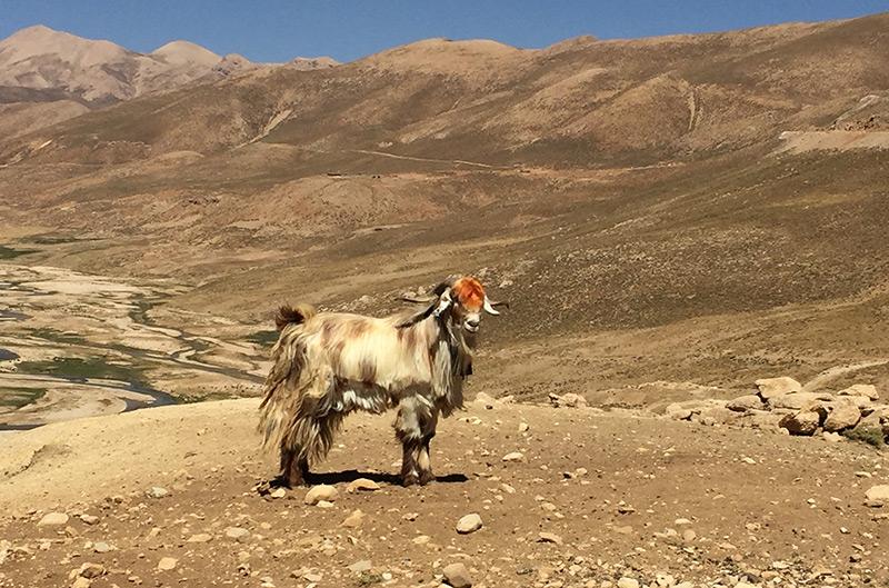 Ziege in Hügelland ohne Vegetation