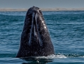 Riesiger Kopf im Meer: Grauwal taucht auf
