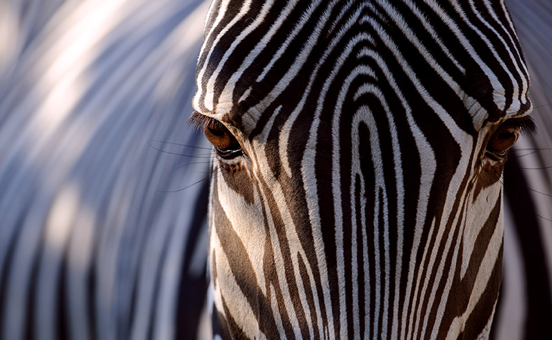 Gestreift: Zebrakopf in Frontalansicht