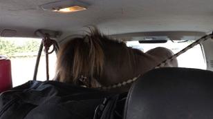 Pferd im Kofferaum
