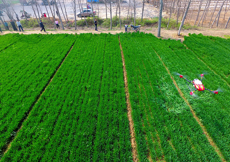 An agricultural drone is used to spray pesticide on crops in a village in Chiping county, east China's Shandong province (April 2017).