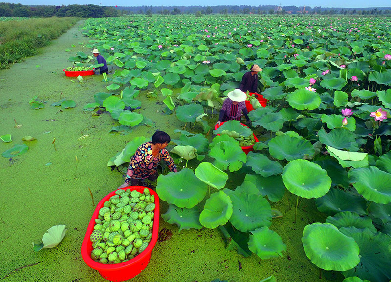 This photo taken on August 1, 2018 shows people harvesting seed pods of lotus flowers from a pond in Tancheng in China's eastern Shandong province.