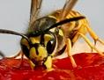 Wespen auf einem Marmeladebrot