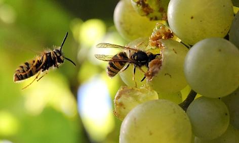 Wespen fressen Weintrauben