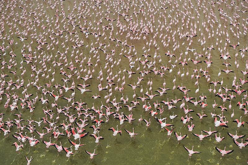 Vogelperspektive: Ein Flamingoschwarm von der Luft aus gesehen