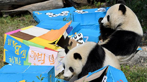 Panda Zwillinge feiern Geburtstag in Schönbrunn