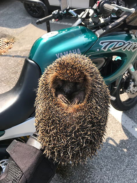 Igel von Motorradfahrern gerettet
