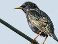 Singvogel: Star sitzt auf einer Stromleitung