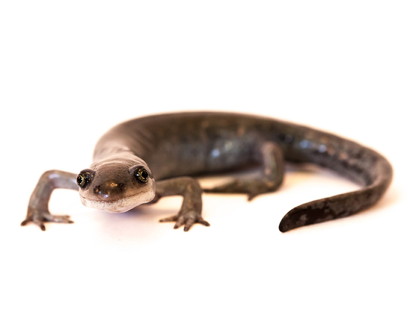 Salamander Ambystoma  in Großaufnahme