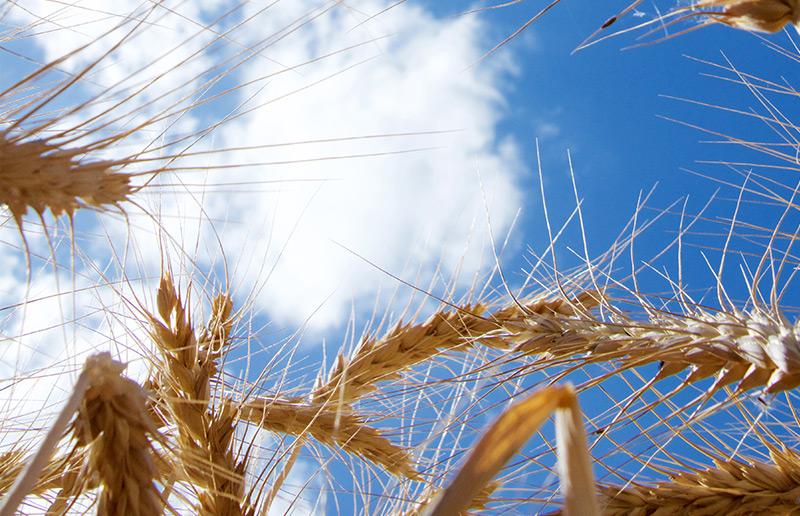 Weizen vor blauem Himmel