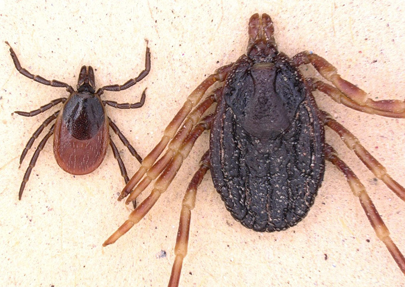 Einheimische Zecke (Gemeiner Holzbock, li.) im Vergleich zu Hyalomma marginatum