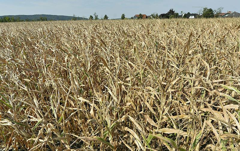 Maispflanzen auf einem von Trockenheit und Dürre betroffenen Feld im niederösterreichischen Traismauer am 6. August 2018