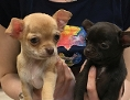 Zwei konfiszierte Chihuahua-Welpen