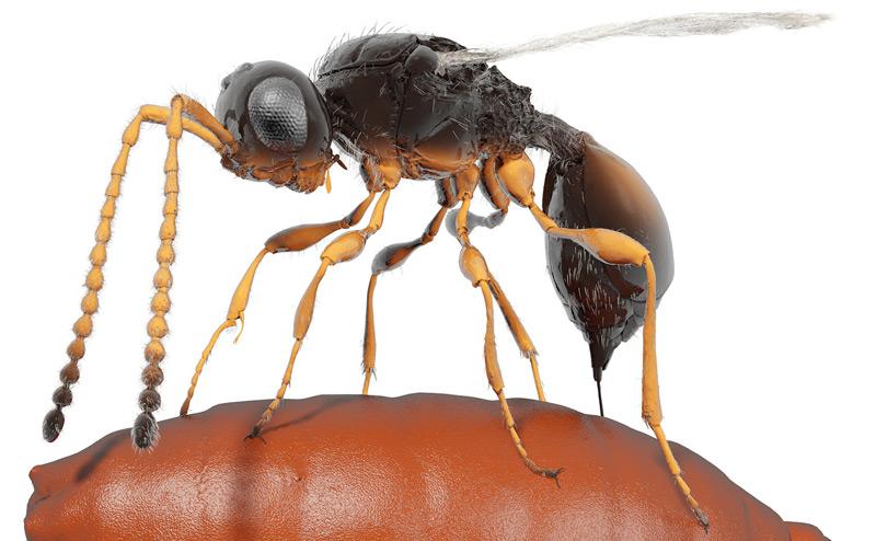Die parasitische Wespe Xenomorphia resurrecta legt ein Ei in einer Fliegenpuppe ab