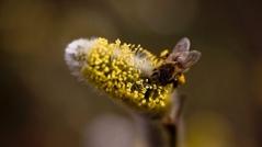 """Bild für Frage 7 """"Das gesündeste Quiz Österreichs"""" Bienen und Honig"""