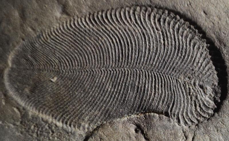 Das Dickinsonia-Fossil