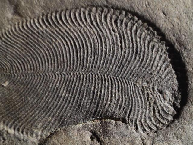 Fossil von Dickinsonia