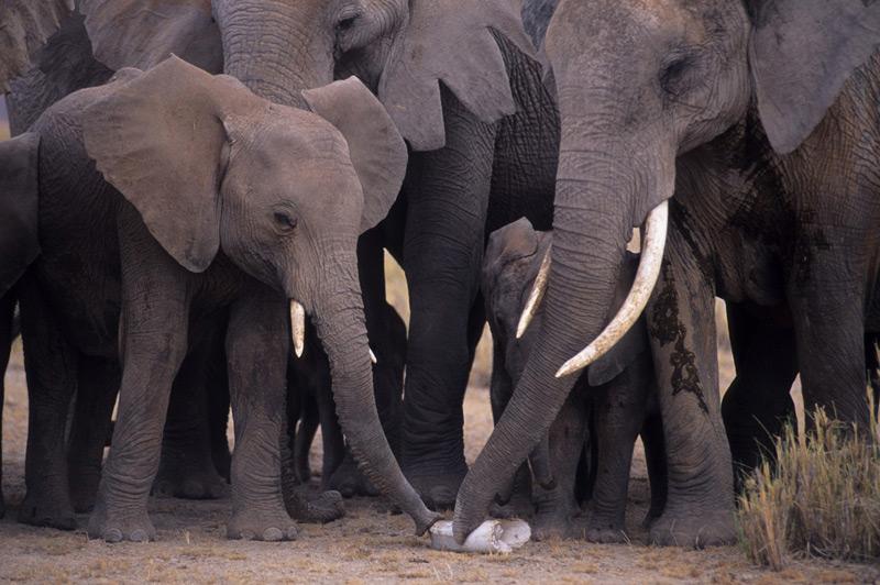 Afrikanische Elefanten schnüffeln an einem am Boden liegenden Stoßzahn