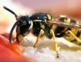 Eine Wespe nascht Marmelade
