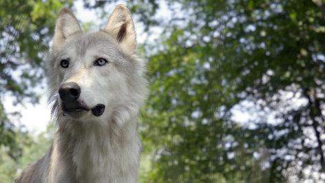 leben mit dem wolf