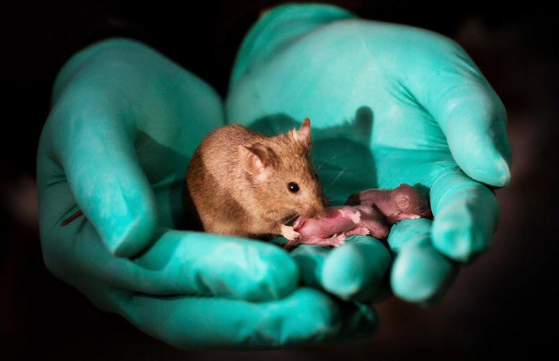 Eine der Mäuse, die von zwei leiblichen Müttern stammt, mit ihrem eigenen Nachwuchs