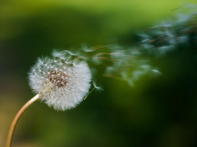 Verblühter Löwenzahn mit fliegenden Samen
