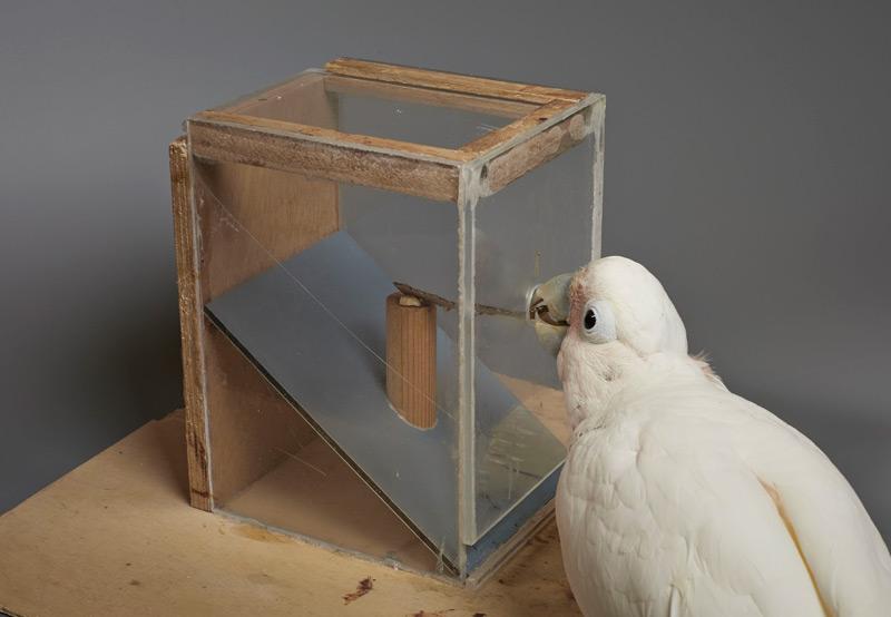 Goffin-Kakadu benutzt selbstgebasteltes Werkzeug