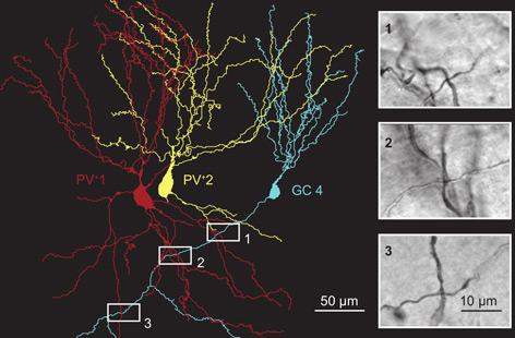 GrafiK: Digitale Rekonstruktion von zwei parvalbumin-exprimierenden Interneuroenen (rot und gelb) und einer Granularzelle (blau)