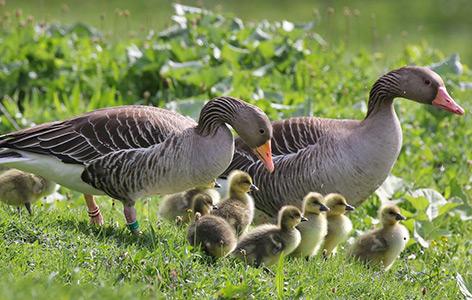 Die meisten Gänsearten leben erweiterten Familienverbände und weiblich-zentrierten Clans
