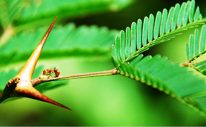 Pflanze, die Dornen als Verstecke für Ameisen entwickelt hat