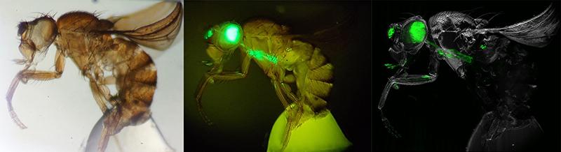 Links die durchsichtig gemachte Fliege, in der Mitte ein Fluoreszenz-Bild, und rechts das Bild aus dem Ultramikroskop