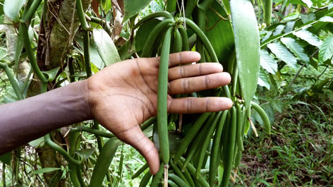 Die grüne Samenkapsel der Vanille